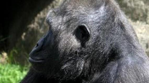 Naixement cria Goril·la al Zoo de Barcelona