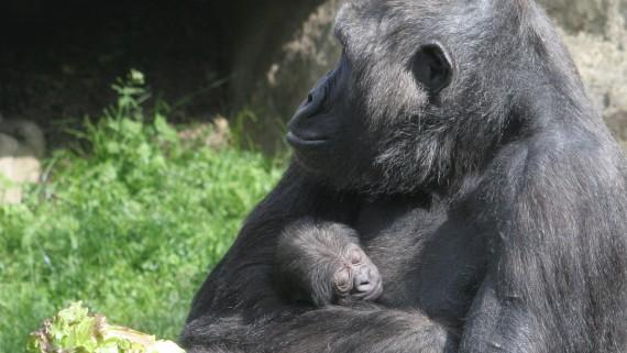 animals, goril·la, primat, zoo de barcelona, natura