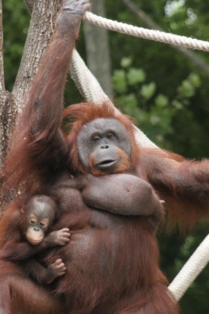 Zoo Barcelona los orangutanes estrenan una nueva instalación en el zoo barcelovers