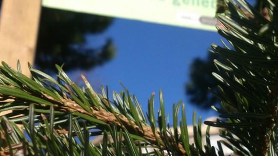 Recollida d'arbres de Nadal