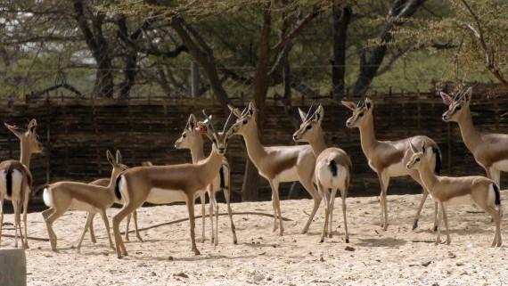 El zoo de Barcelona, seu d'una trobada internacional per a la conservació de l'àrea del Sahel-Sàhara