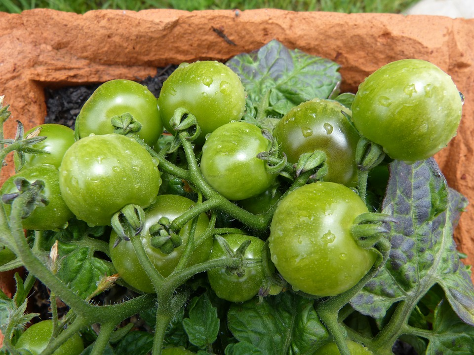 green-tomatoes-780575_960_720