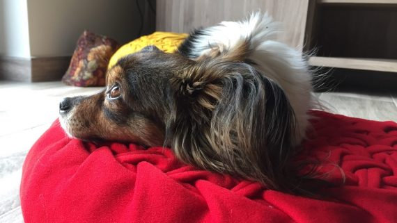 sancions venda animals de companyia gos