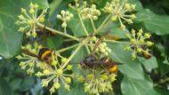 Vigilància vespa asiàtica CPNSC