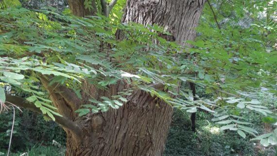 Noguera alada de Rehder al Jardí Botànic Històric (arbres interès local Sants-Montjuïc)