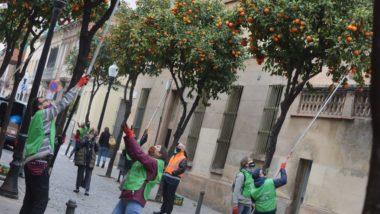 Sant Andreu, recollida de taronges, taronja, melmelada