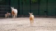 cria orix blanc zoo barcelona